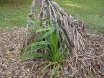 Pandanus tectorius   - Young seedling appears at base of aerial roots