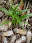 Pandanus tectorius   - Seedlings sprouting from dry keys