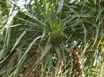 Pandanus tectorius   - Fruit behavior