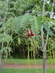 Sesbania grandiflora   - Young tree with fruit and flower