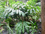 Alpinia hainanensis   - Habit