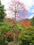 Brachychiton acerifolius   - Habit, leafless flowering tree