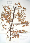 Cassia grandis   - 