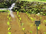 Colocasia esculenta   - Young planting in wetland