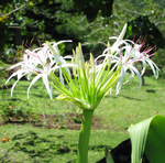 Crinum pedunculatum   - Inflorescence with buds and open flowers