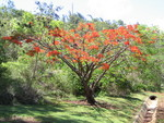 Delonix regia   - Habit, flowering tree, almost leafless