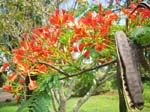 Delonix regia   - Branch with flowers and mature split fruits