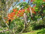 Delonix regia   - Flowering branch and mature fruits