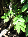 Entada phaseoloides   - Leaves