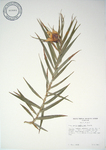 Freycinetia cumingiana   - 