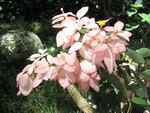 Mussaenda   'Queen Sirikit' - 