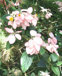 Mussaenda   'Queen Sirikit' - Flowering branches