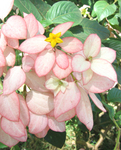 Mussaenda   'Queen Sirikit' - Inflorescence with open yellow flower