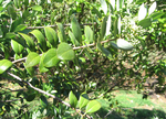 Santalum paniculatum   - flowering branches, var. paniculatum