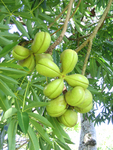 Sterculia foetida   - Unripe green fruit