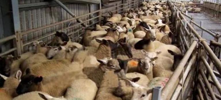 【視頻】網友聯合抵制UGG!刮羊毛製作過程相當慘忍!