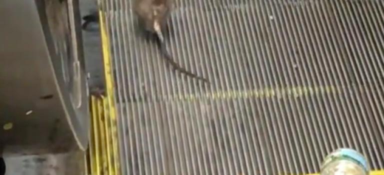 『視頻』天呀!紐約老鼠搭手扶梯嚇壞路人,是要趕著去上班嗎?