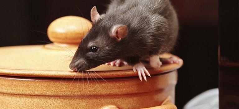 可怕!紐約發現罕見鼠疫:3人感染,其中1人死亡