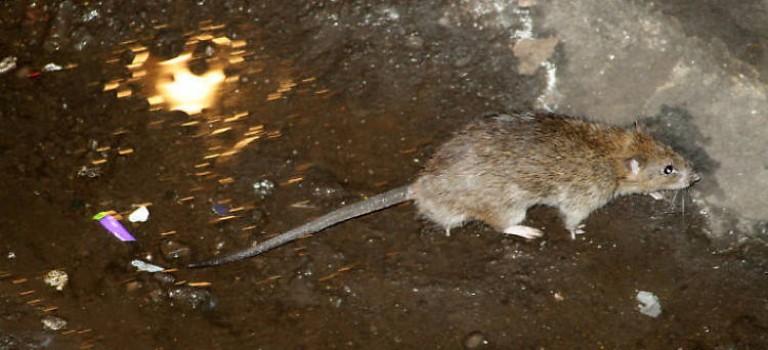 紐約鼠害最嚴重的社區地圖出爐:你住的地方中招了嗎?