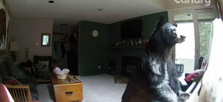 不敢相信!大黑熊闖民宿居然是為了…彈鋼琴?!