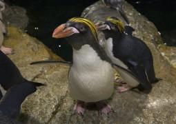 b18da1b16_julie-larsen-maher_9484_macaroni-penguins_cpz_06-22-17-jpg-mobile