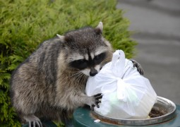Scavenging Raccoon