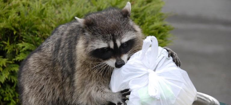 """注意了!浣熊肆虐紐約,市民不堪侵擾:""""它們還吃掉了我的烏龜!"""""""