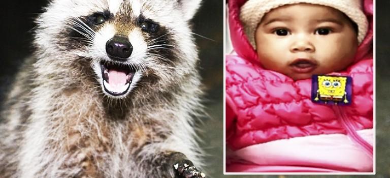 浣熊再作惡!攻擊四個月熟睡嬰兒!女嬰臉部被縫65針險失明