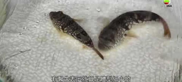 梭羅魚混入有毒雞泡魚  大家買魚要小心啲喇 – 東張西望
