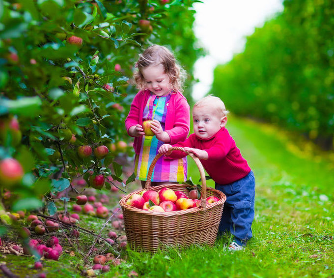 41386497 - child picking apples on a farm in autumn. little girl and boy play in apple tree orchard. kids pick fruit in a basket. toddler and baby eat fruits at fall harvest. outdoor fun for children.