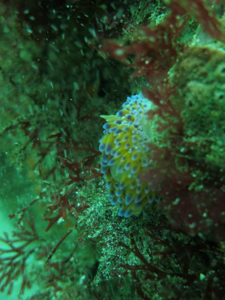 A Gas Flame Nudibranch