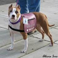Can a Pit Bull Be a Service Dog?