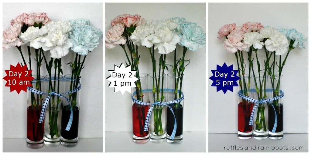 red-white-and-blue-color-changing-carnations-experiment