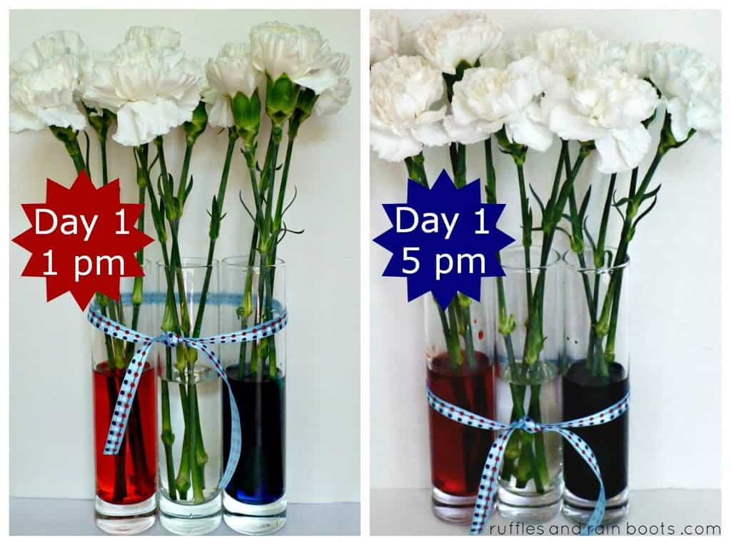 Day-1-color-changing-carnations-experiment-for-toddlers
