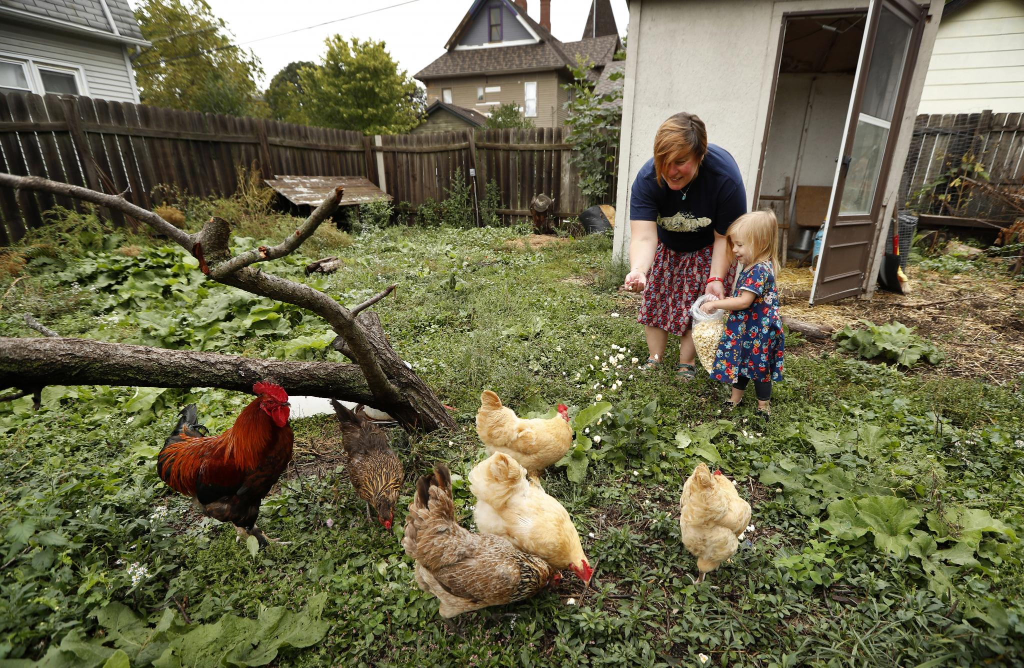 backyard chicken trend causes spike in infections 1 fatal news