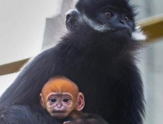 舊金山動物園添新丁,一起迎接小黑葉猴