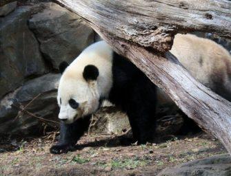 """【視頻】國家動物園的大熊貓""""寶寶""""要回中國了,好不舍啊!!!"""