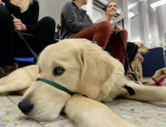 萌死人不償命!25 隻可愛的小狗狗來到奧克蘭國際機場,開始正式培訓。
