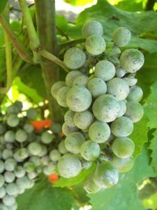 Cluster of grapes on vine infected with powdery mildew.