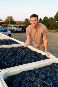Man holding grapes in hand over a freshly harvest bin on grapes