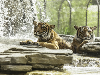 Tiger in zoo image