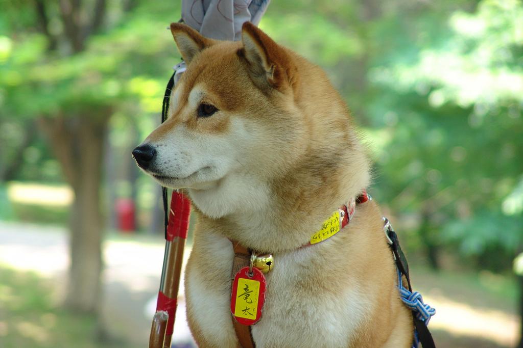 Hokkaido Inu, Dog,Ken