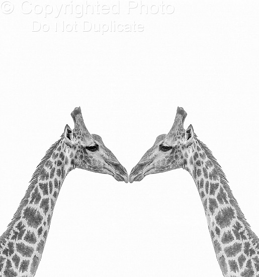 The Kissing Giraffe's