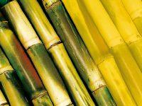 A cana-de-açúcar é fonte de bioenergia no Brasil