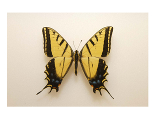 State Butterfly: Two-Tailed Swallowtail
