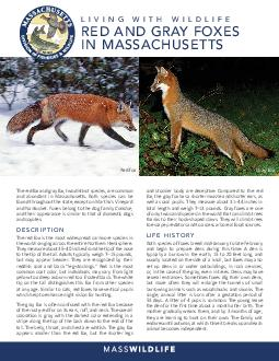 Living With Wildlife Red Fox  Gray Fox in Massachusetts The red fox and gray fox are both common and abundant species in Massachusetts