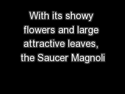With its showy flowers and large attractive leaves, the Saucer Magnoli