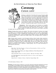 Carum carvi Caraway is a biennial of the family Apiace