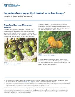 Spondias Growing in the Florida Home Landscape