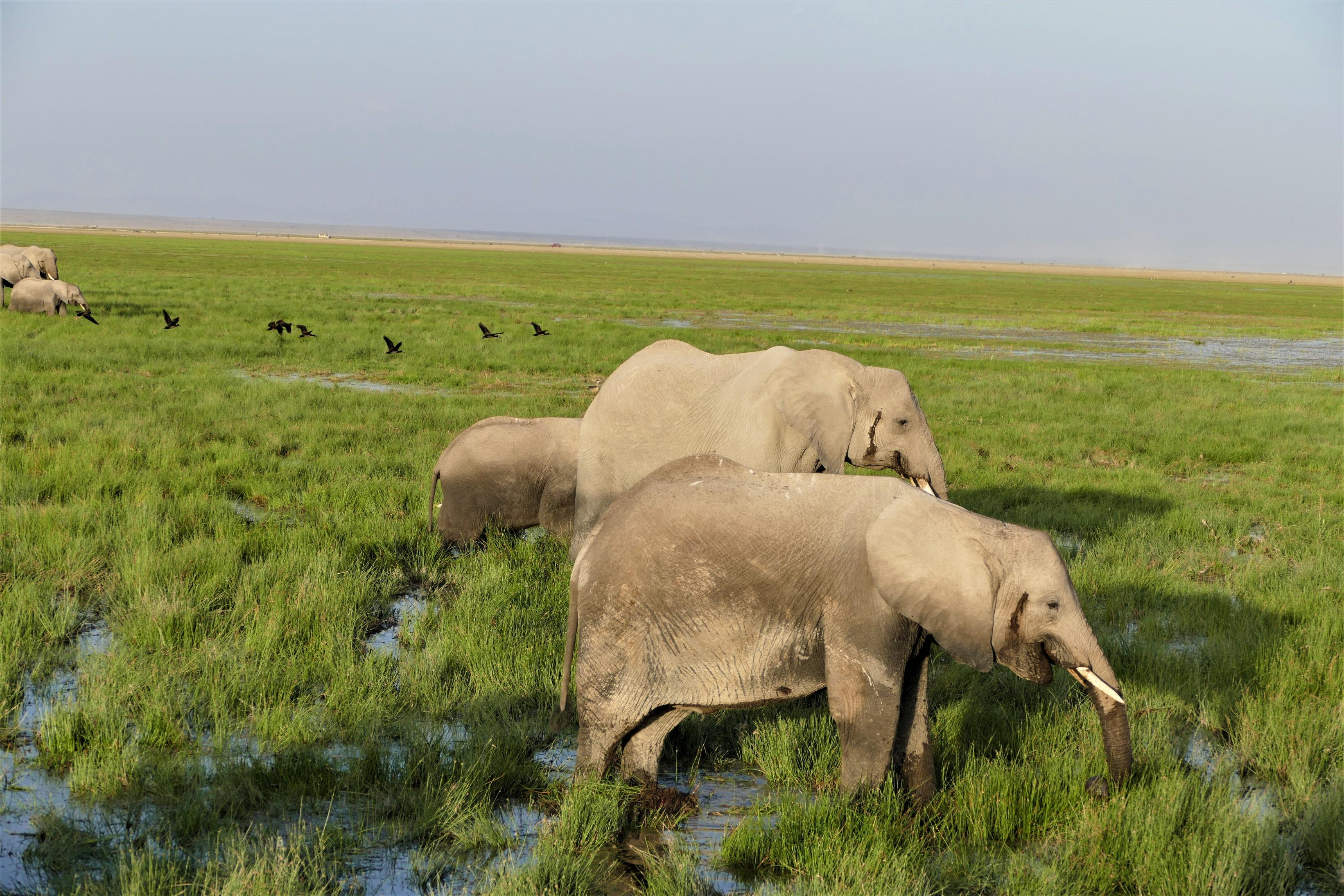 Elephants in the Swamps